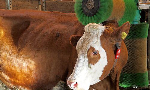 Kuh genießt einen Wellnessbehandlung unter der Rollenbürste im Stall des Erlebnisbauernhofs