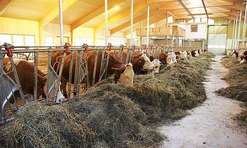 Kühe bei der Fütterung im lichtdurchfluteten Stall des Erlebnisbauernhofs
